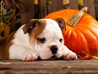 dog safety on Halloween